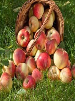 fragrance-apple-masterbatch